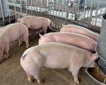 Tăng cường quản lý chất cấm trong chăn nuôi dịp Tết