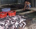 Cá chết trên sông Cái Vừng: do thiếu oxy?