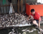 Cá nuôi bè trên sông Cái Vừng tiếp tục chết vì thiếu oxy