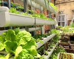 Tự trồng thủy canh tại nhà chưa chắc có rau ăn