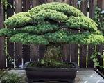 Diệu kỳ cây bonsai sốngsót trong trận bom nguyên tử