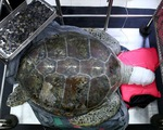 Phẫu thuật cứu con rùa 59kg nuốt cả ngàn đồng xu