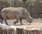 Vườn bách thú Bỉ bảo vệ tê giác bằng cách cưa ngắn sừng