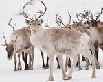 Số lượng hải mã và tuần lộc tại Bắc Cực giảm mạnh chưa từng thấy