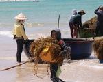 Đến Quảng Ngãi xem ngư dân hái