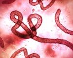 WHO cảnh báo nguy cơ bùng phát Ebola trở lại ở Congo