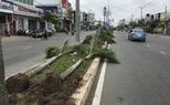 Bứng hạ hàng trăm cây cau trên 15 tuổi ở Sóc Trăng