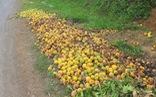 Cam Vinh bất ngờ rụng hàng loạt, dân phải đào hố chôn