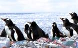 Chim cánh cụt thật sự đang sống trên đảo rác