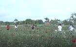 Video: Cánh đồng hoa hồng mở cửa miễn phí nhân ngày 20-10