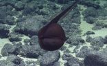 Loài cá 'không giống ai': mình lươn, miệng rộng như quả bóng