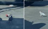 Chim bồ câu đội mũ cao bồi bí ẩn gây tranh cãi