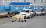 Đói lả và kiệt sức, gấu Bắc cực lê bước trên đường phố tìm thức ăn
