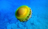 Loài sứa 'ngon mắt' nhất đại dương, nhìn hệt như quả trứng