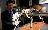 Bán đấu giá bộ xương hổ răng kiếm hóa thạch gần 40 triệu năm tuổi