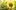 Rực rỡ cánh đồng hoa hướng dương ở Nghệ An