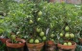 Đi Co.opmart mua cây ổi có trái giá chỉ 50.000 đồng/cây