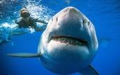 Lặn biển, 'chạm mặt' cá mập trắng lớn nhất thế giới