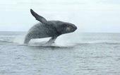 Bị phạt 1.500 USD vì... đến gần cá voi
