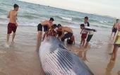 Xác cá voi nặng hơn 2 tấn dạt vào bờ biển Khánh Hòa