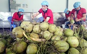 Đưa trái dừa chinh phục người Mỹ