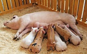 Vì sao con người sử dụng sữa bò, dê mà không dùng sữa lợn?