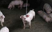 Dân Trung Quốc tiêm vắc xin lậu cho heo làm biến đổi virus gây dịch tả