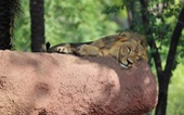 8 con sư tử tại vườn thú Ấn Độ mắc COVID-19?