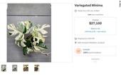 Chốt giá kỷ lục: 440 triệu cho một cây trầu bà lá xẻ ở New Zealand