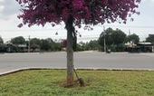 Kẻ vừa cưa vừa trộm 26 cây hoa giấy khiến dư luận bất bình lãnh 7 năm tù