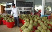 Nông dân Bến Tre phấn khởi vì sầu riêng chính vụ giá cao