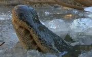 Cá sấu làm gì để sống sót khi rét kỷ lục?