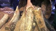 Bắt lô ngà voi lậu giấu trong 200 thùng phuy nhựa đường xuất khẩu