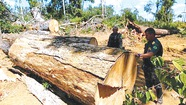 Rừng bị phá nghiêm trọng, trở thành nguồn xả khí cacbon