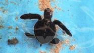 Nói không với trứng vích, bảo vệ 'Thiên đường rùa biển' Côn Đảo