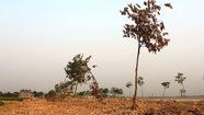 Hàng trăm cây xanh chết khôvì dự án cấp nước