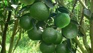 Nhà vườn Tiền Giang phấn khởi vì cam sành được mùa, được giá