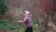 Quận Tây Hồ, Hà Nội xin trồng hoa đào dưới đường điện 110kv