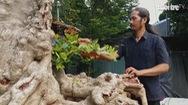 Góc nhìn trưa nay 21-10 | Tận mắt xem cây cổ thụ họ dây leo hóa gỗ