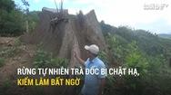 Rừng tự nhiên Trà Đốc bị chặt hạ, kiểm lâm bất ngờ