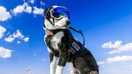 """Chú chó Piper: """"Nhân viên"""" đặc biệt bảo vệ sân bay"""
