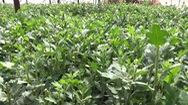 Đà Lạt hỗ trợ các mẫu kiểm tra nhanh virus trên hoa cúc