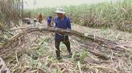 Khan hiếm nhân công thu hoạch mía