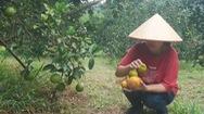 Cam đặc sản rụng quả hàng loạt, nông dân Nghệ An như ngồi trên đống lửa