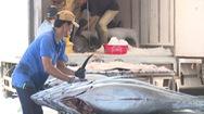 Phú Yên: Mùa cá ngừ cuối vụ kém vui