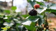 Đà Lạt trồng thành công cây phúc bồn tử đen