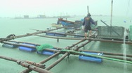 Vùng nuôi tôm hùm trên biển Phú Yên trước nỗi lo mùa mưa bão