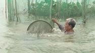 Nuôi – nhử cá đồng mùa lũ, cách khai thác thủy sản bền vững ở vùng nước nổi