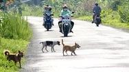 Phút cảnh báo: Chó thả rông, nỗi kinh hoàng trên nhiều tuyến đường nông thôn