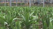 Nông dân Đà Lạt trồng hơn 1.000 ha hoa bán Tết